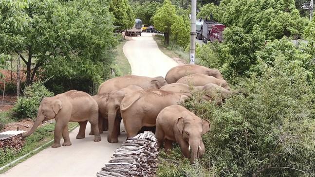 Kinas vandrande elefantflock har blivit superstjärnor på sociala medier. Här syns de nära staden Kunming i provinsen Yunnan i juni.