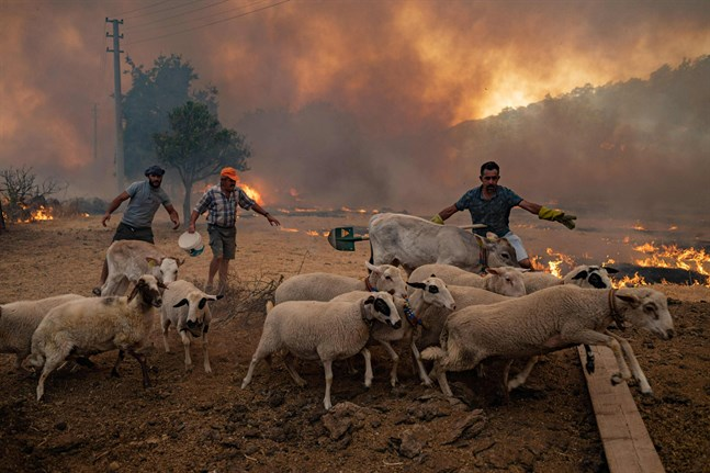 Män samlar in sina får medan elden rycker allt närmare i i Mugla i turkiska Marmaris.