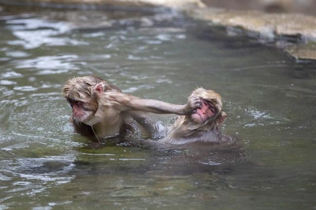 Stressnivåerna hos makakerna sjunker markant efter ett dopp, enligt en studie. Bild från mars 2021.