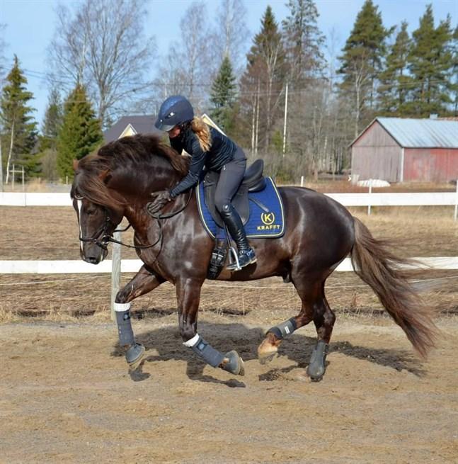 Tillsammans med sin ryttare Anna Kärkkäinen har Kulta-ahon Kasimir vunnit mästerskapet för finska hästar två år i rad.