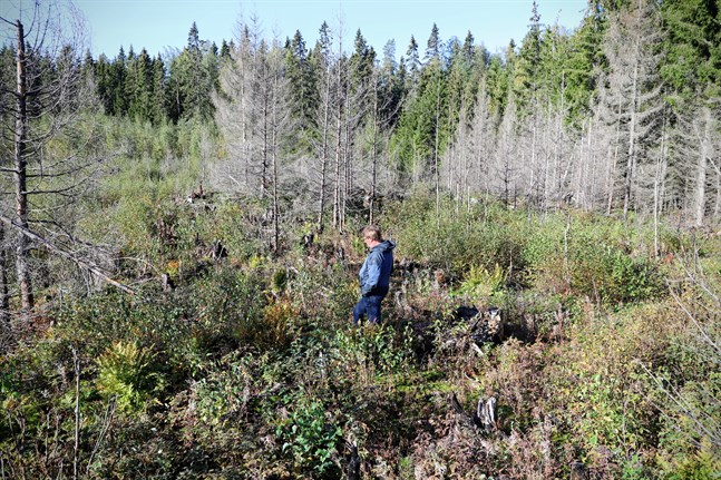 Johan Nynäs går genom ett landskap där träd som smakat på elden får sällskap av allt mer hallonbuskar och björksly.