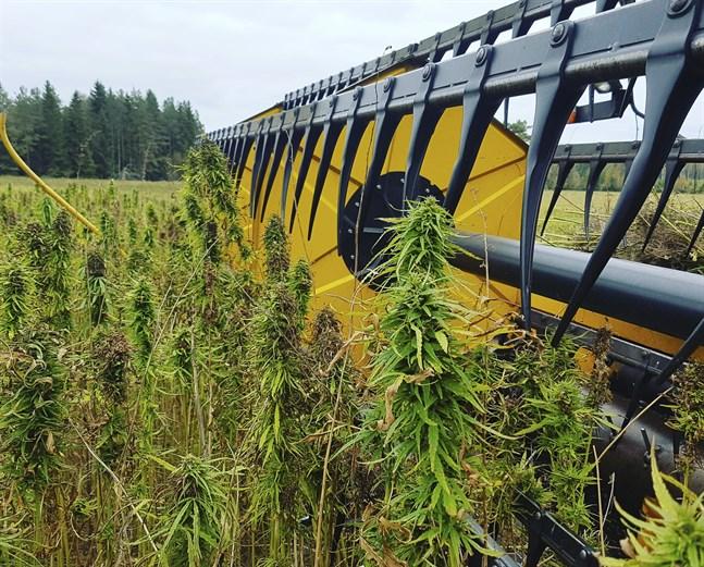 Odling av fiber- och oljehampa ska inte blandas ihop med diskussionen om cannabis för rekreationsbruk, anser producentorganisationen Hyötyhamppuyhdistys.