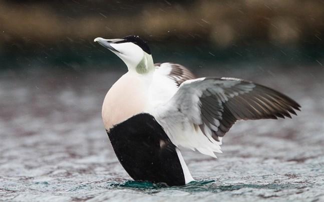 Myndigheterna storsatsar på att skydda häckande sjöfåglar.