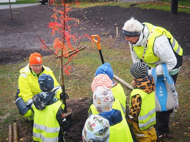 Sari Hotakainen arbetschef på Karleby stad sätter ullungrönnen på plats. Pojkarna i den svenskspråkiga dagisgruppen Småstjärnorna, Kyrkbacken ledd av Lotta Sundell var med och planterade träd Kyrkbackens park på torsdagen.