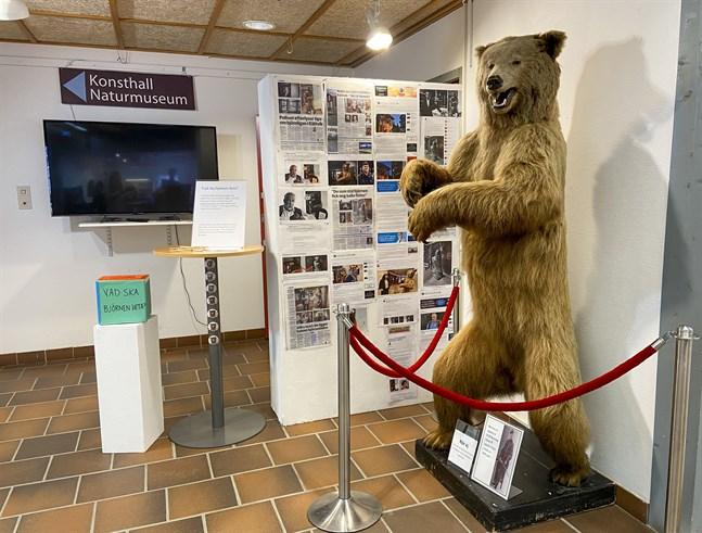 Leif Ursula stals och lämnades sedan tillbaka inslagen i en presenning. Den uppstoppade björnen står sedan i våras åter för allmän beskådan.